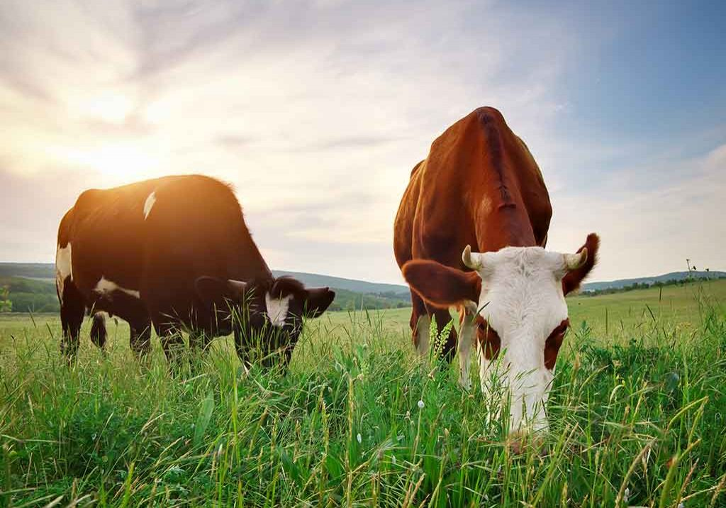 Agriculture-cows-sunny